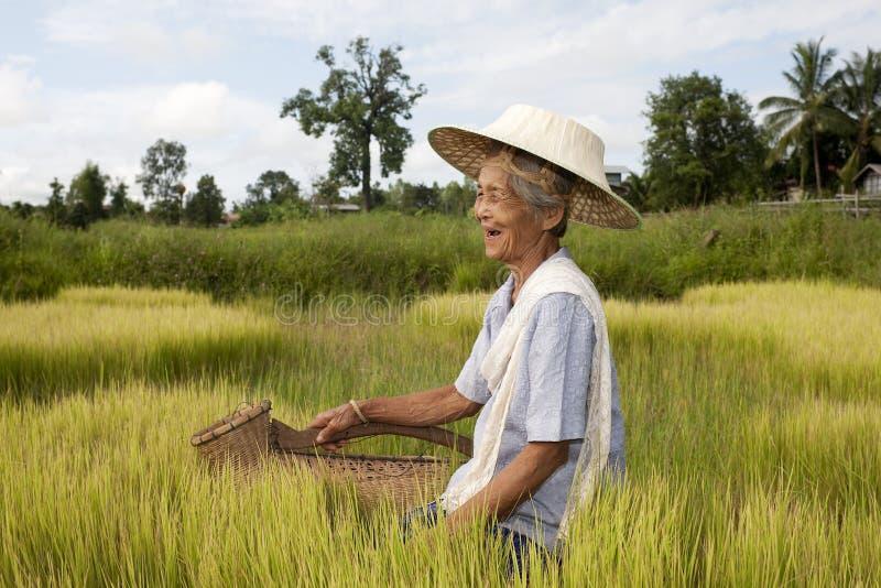 Vieja mujer asiática en el arroz-campo imagen de archivo libre de regalías