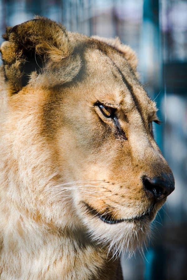 Vieja opinión de cara mayor de mirada triste de la leona imagenes de archivo