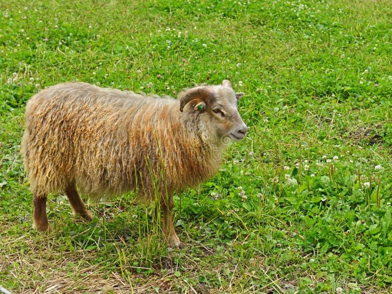 Vieja raza noruega Villsau de las ovejas fotografía de archivo