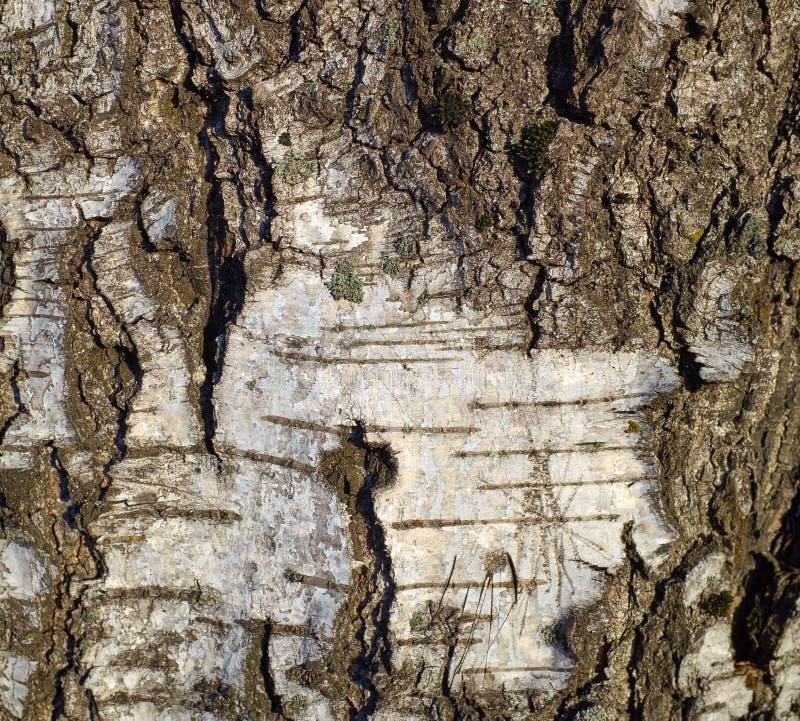 Vieja textura de la corteza de árbol en un árbol de abedul foto de archivo libre de regalías