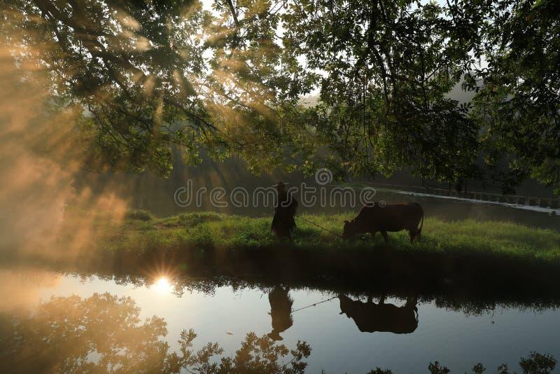 Vieja ventaja del granjero el ganado debajo del baniano antiguo fotos de archivo libres de regalías