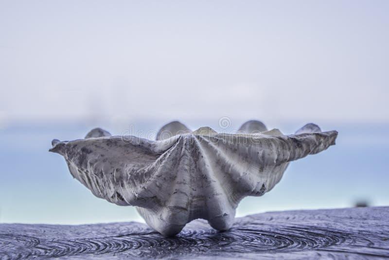 Viejas cáscaras blancas grandes en la madera, fondo azul borroso del mar fotos de archivo libres de regalías