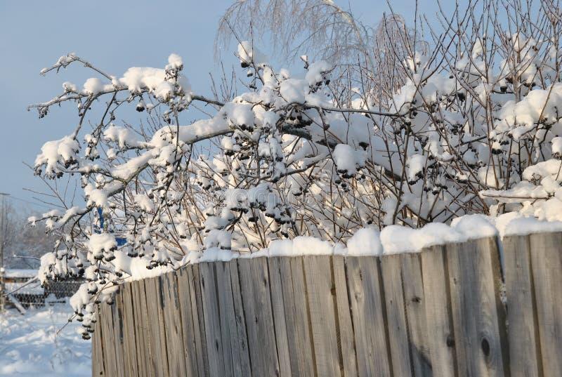 Viejas cerca raquítica y ramas de madera del serbal negro cubiertas con nieve imagen de archivo