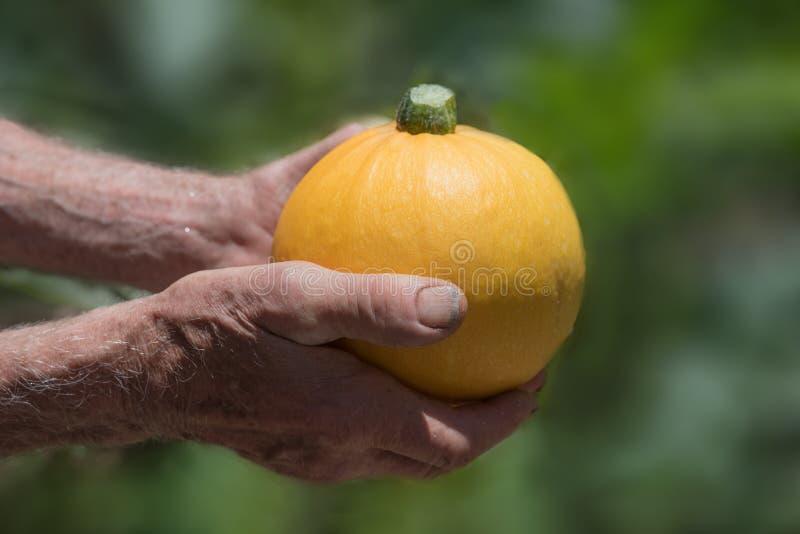 Viejas manos de los jardineros que sostienen el calabacín redondo amarillo imagen de archivo