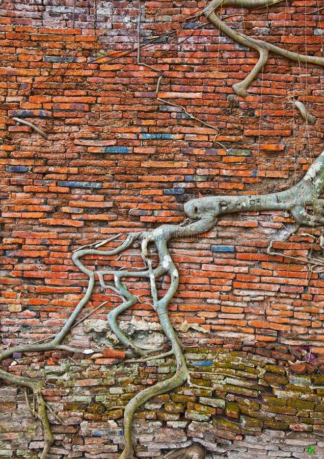 Viejas raíces de la pared de ladrillo y del árbol foto de archivo libre de regalías