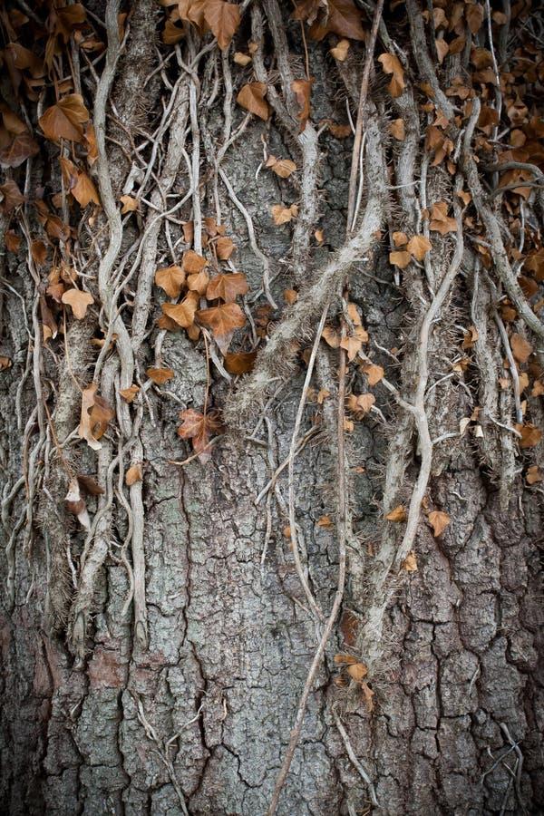 Viejas raíces del árbol foto de archivo