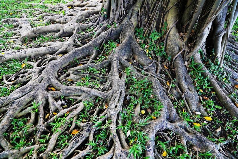 viejas raíces del árbol fotografía de archivo