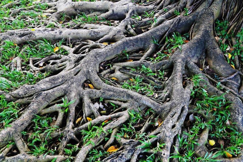 viejas raíces del árbol imagenes de archivo