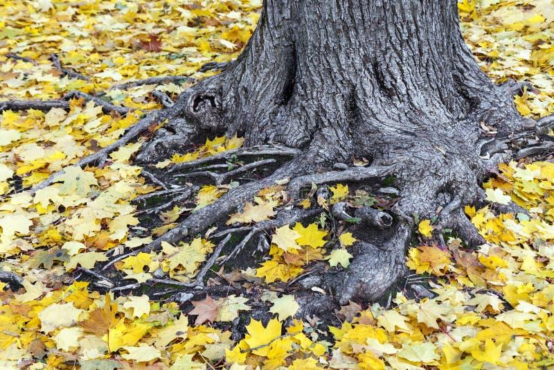 Viejas raíces del árbol cubiertas con las hojas de arce amarillas imagen de archivo libre de regalías