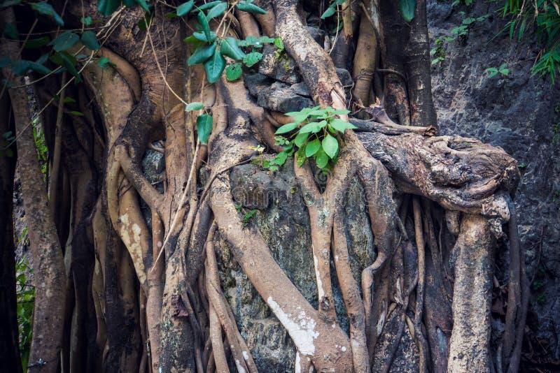 Viejas raíces del misterio en un bosque danés fotos de archivo