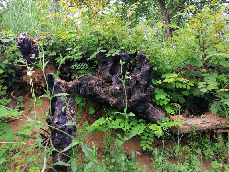 Viejas raíces quemadas del árbol imagen de archivo libre de regalías