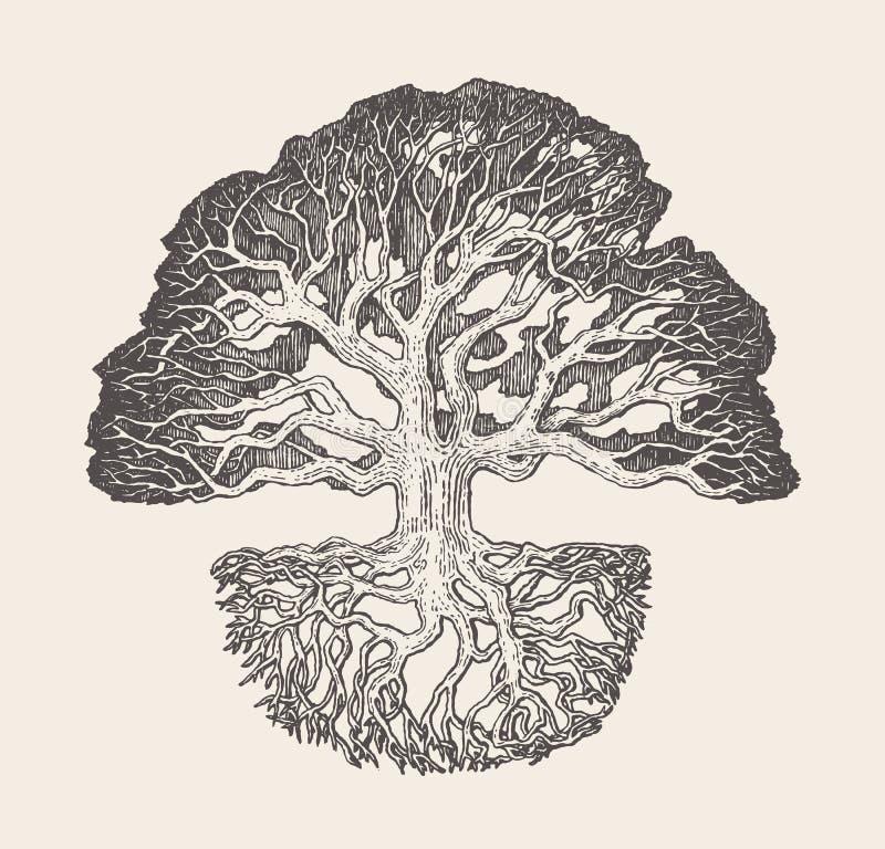Viejo ejemplo dibujado del vector de la raíz del roble sistema stock de ilustración
