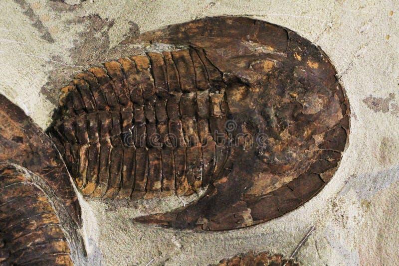 viejo fósil trilobita imagen de archivo
