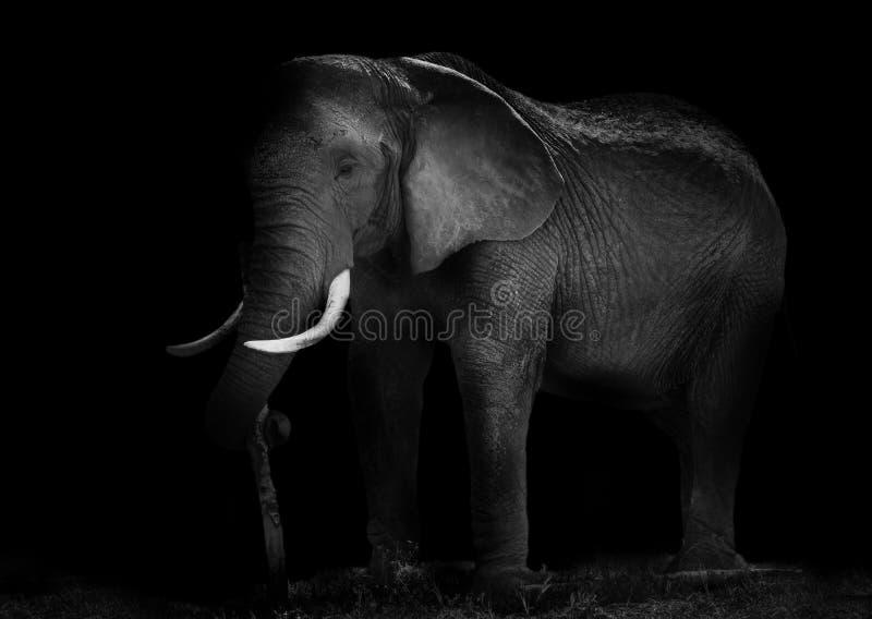 Viejo funcionamiento del elefante africano fotografía de archivo