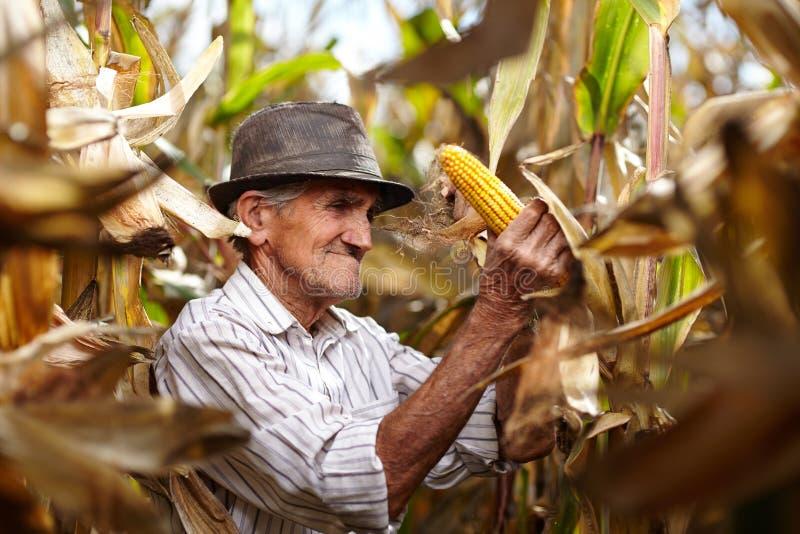 Viejo hombre en la cosecha de maíz imagenes de archivo
