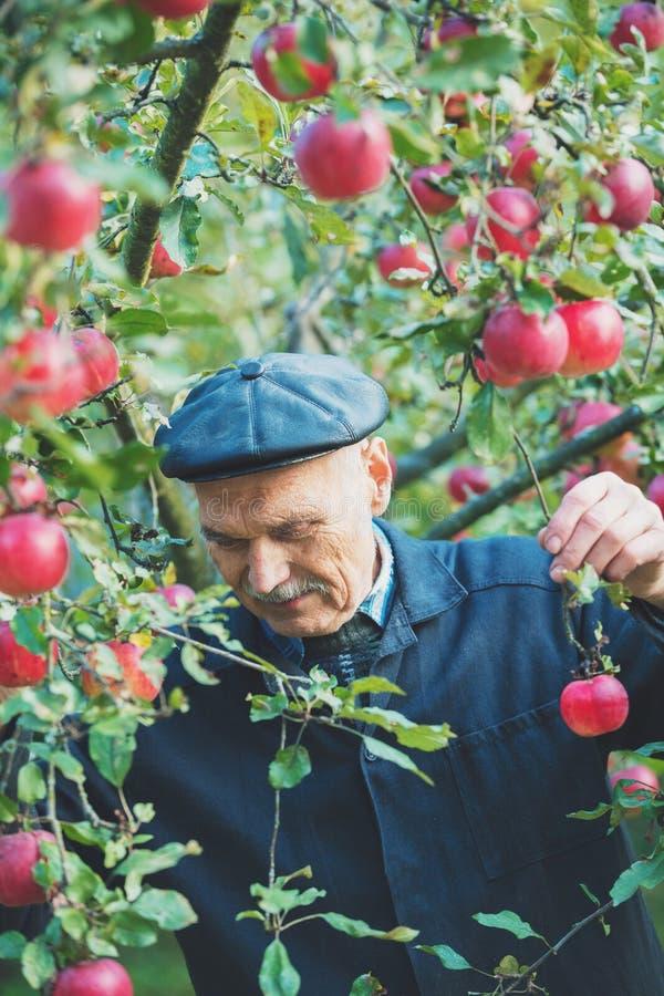 Viejo hombre que cosecha manzanas fotografía de archivo