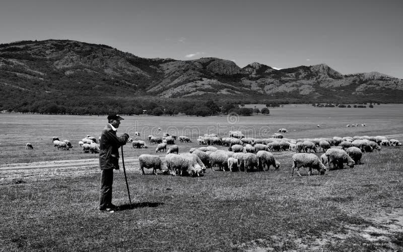 Viejo pastor y sus ovejas en área de montañas de Macin, Rumania fotografía de archivo libre de regalías