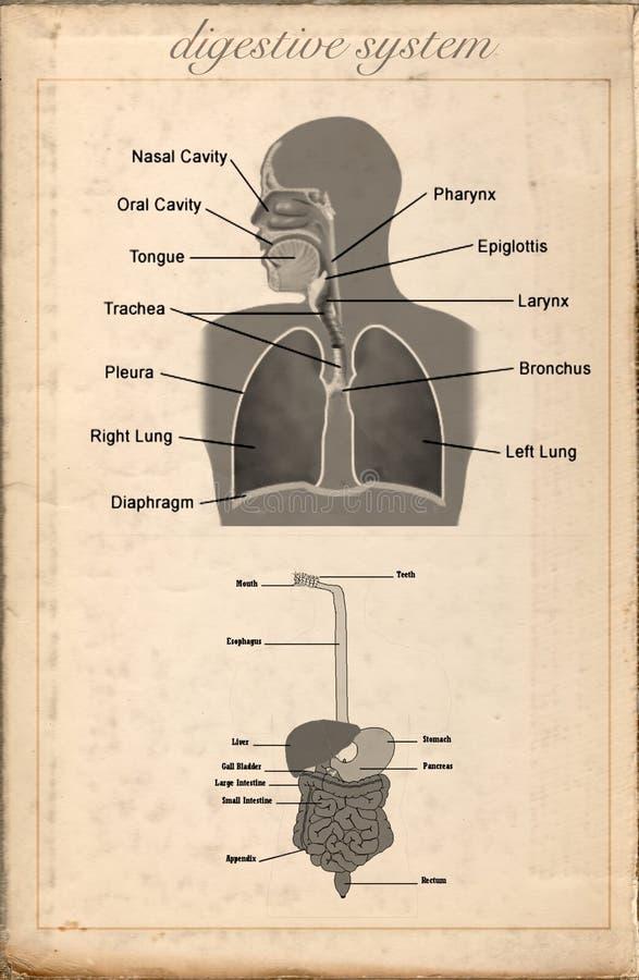 Viejo Vintage De La Hoja Del Sistema Digestivo Stock de ilustración ...