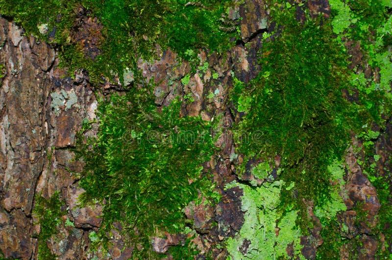 Viel dunkelgrünes Moos und hellgrüne Flechte auf einer braunen Barke einer Baumbeschaffenheit lizenzfreies stockbild