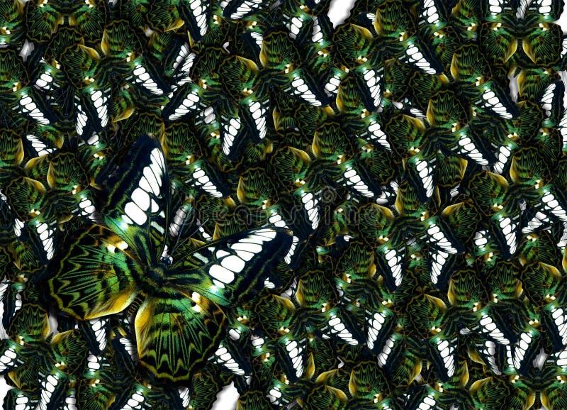 Viel grüner goldener Vogelflügelschmetterling, Danaus Genutia-Hintergrund stockfotografie