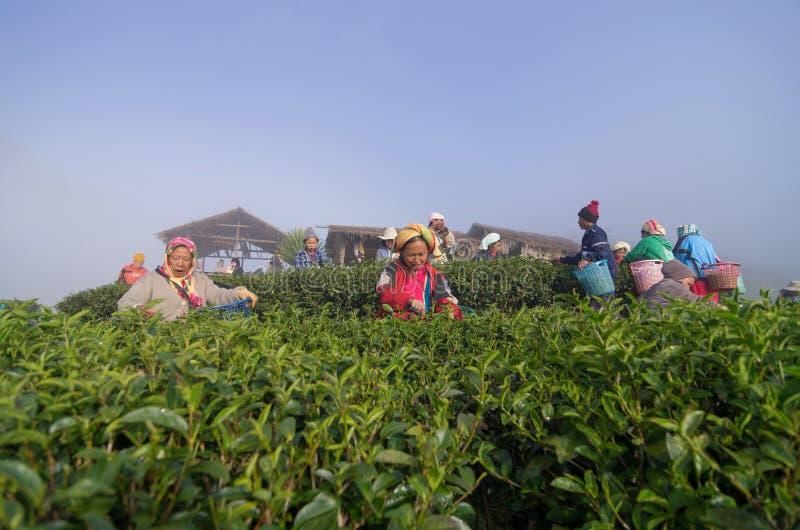 Viel nicht identifizierte Landwirt-Auswahl in den Teeblättern lizenzfreies stockbild