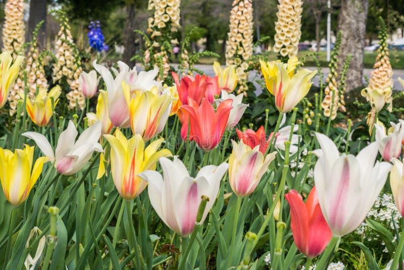 Viel unterschiedliche Vielzahl von hell farbigen Tulpen, Kalifornien stockfoto