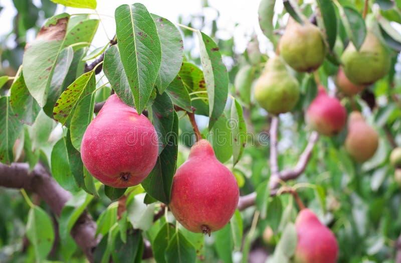 Viel von den Birnen, die auf einem Baum wachsen lizenzfreie stockbilder