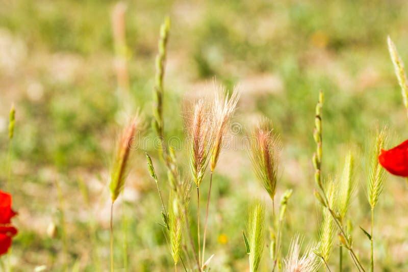 Viel von den Weizenspitzen auf dem Gebiet lizenzfreies stockfoto