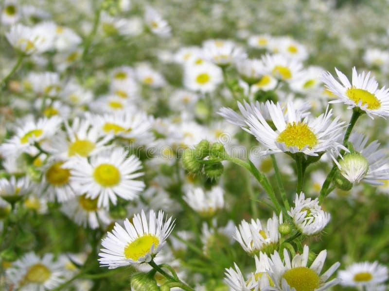 Viel weiße Blumen auf der Wiese stockbild