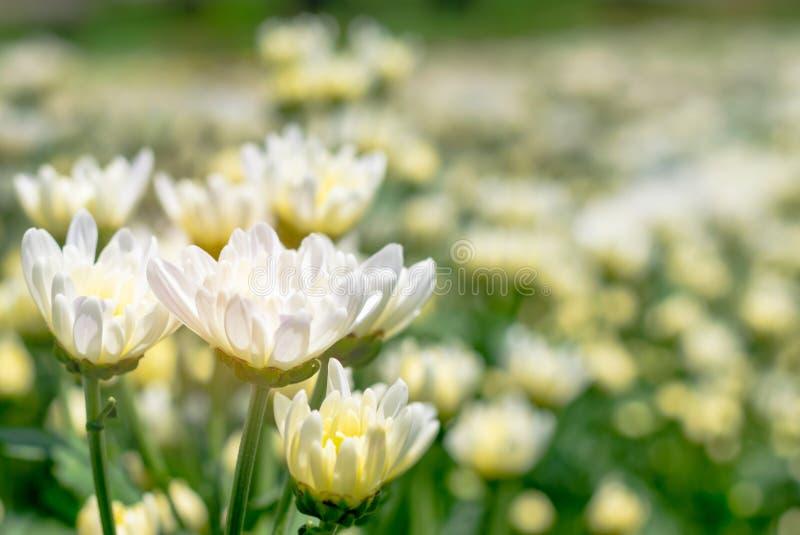 viel weiße Chrysanthemenblume auf dem Gebiet lizenzfreie stockbilder