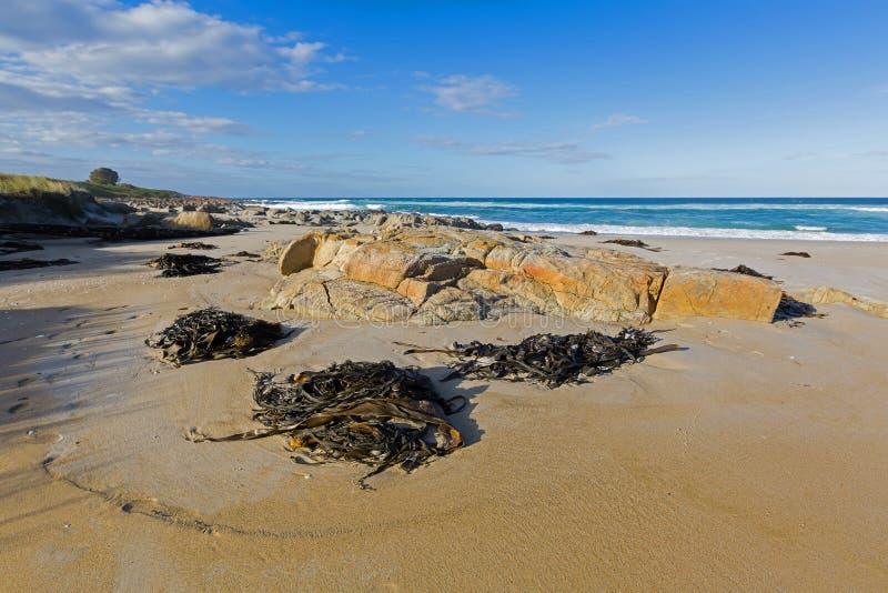Viel wusch sich enormes Stier-Kelp Bullwhip-Kelp an Land in Tasmanien, A stockbilder