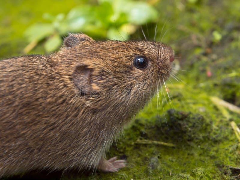 Vield vole (Microtus agrestis) royalty free stock photos