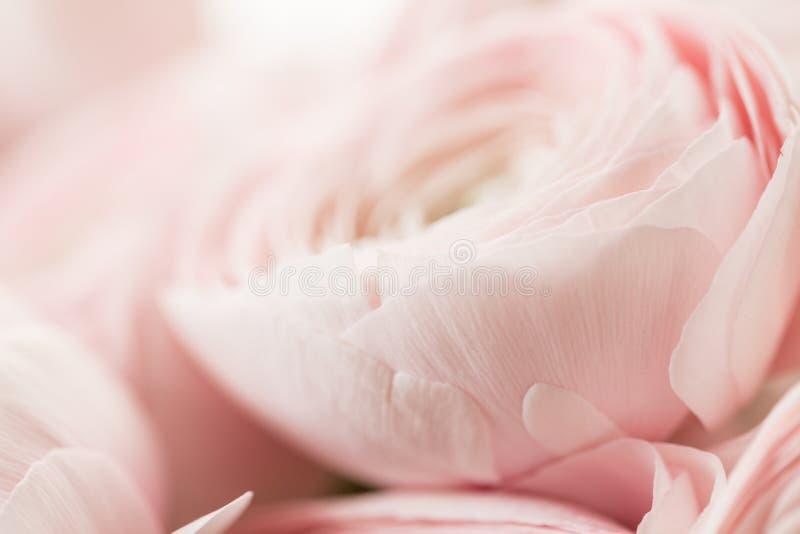 Viele überlagerten Blumenblätter Persische Butterblume Bündel blaß - rosa Ranunculus blüht hellen Hintergrund Tapete, horizontale lizenzfreie stockbilder