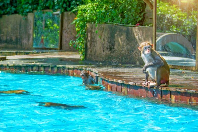 Viele Affen schwimmen im Pool, essen Spiel und aalen sich in der Sonne, die Tropen lizenzfreies stockfoto
