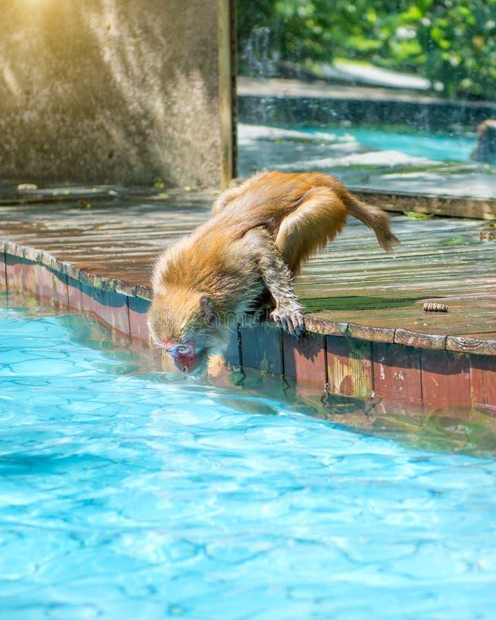 Viele Affen schwimmen im Pool, essen Spiel und aalen sich in der Sonne, die Tropen stockfotos