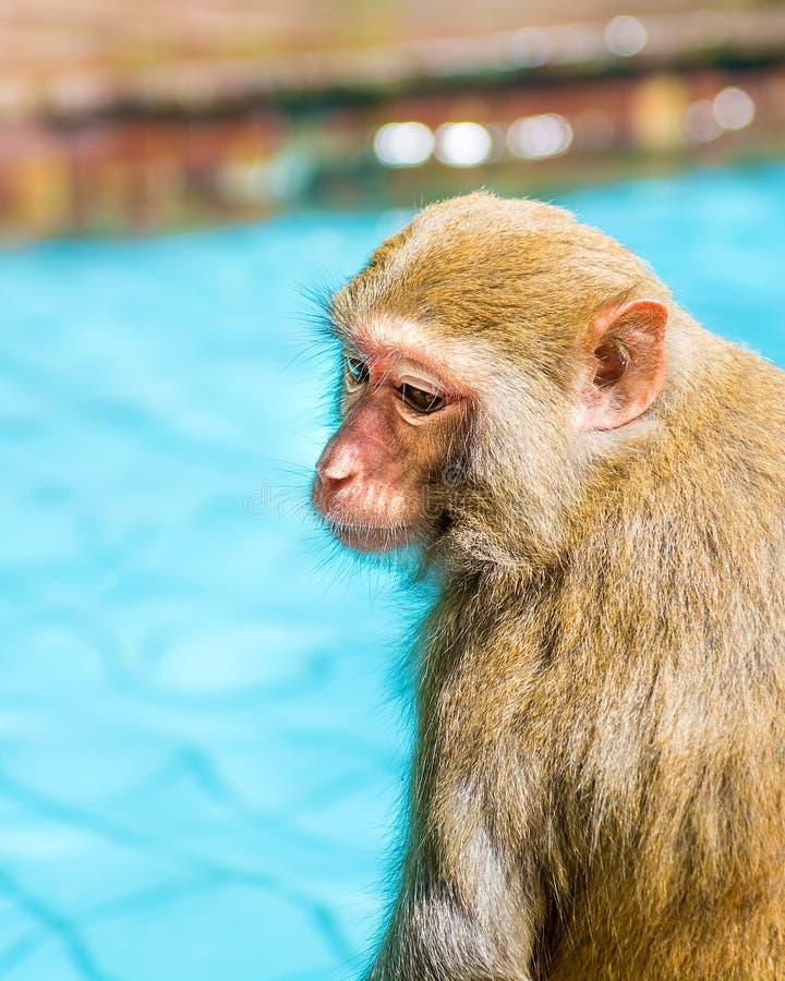 Viele Affen schwimmen im Pool, essen Spiel und aalen sich in der Sonne, die Tropen stockbild