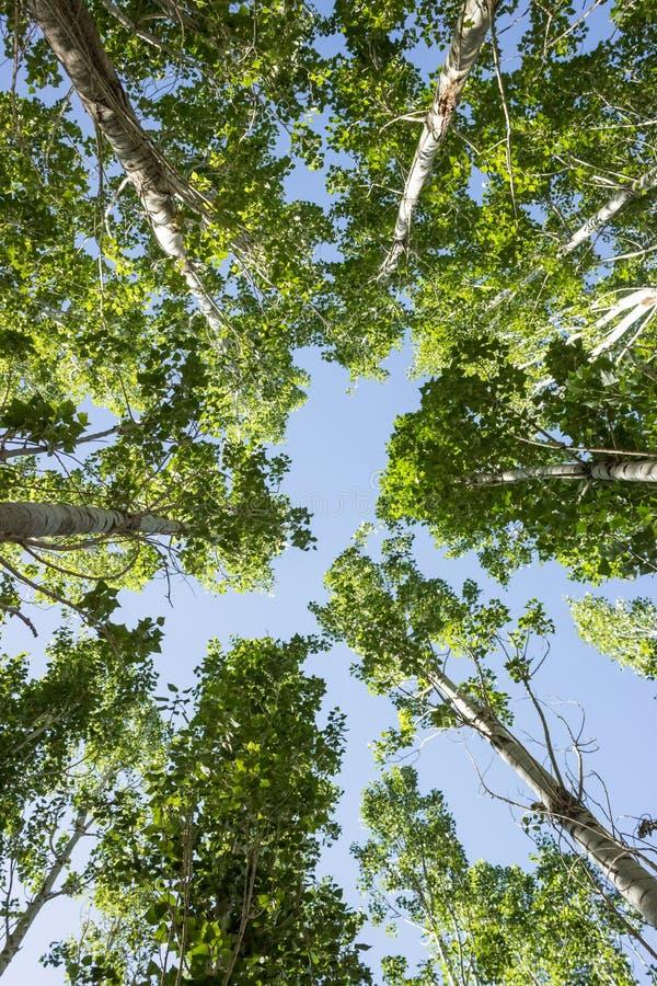 Viele alten hohen Pappelbäume mit blauem Himmel stockbild