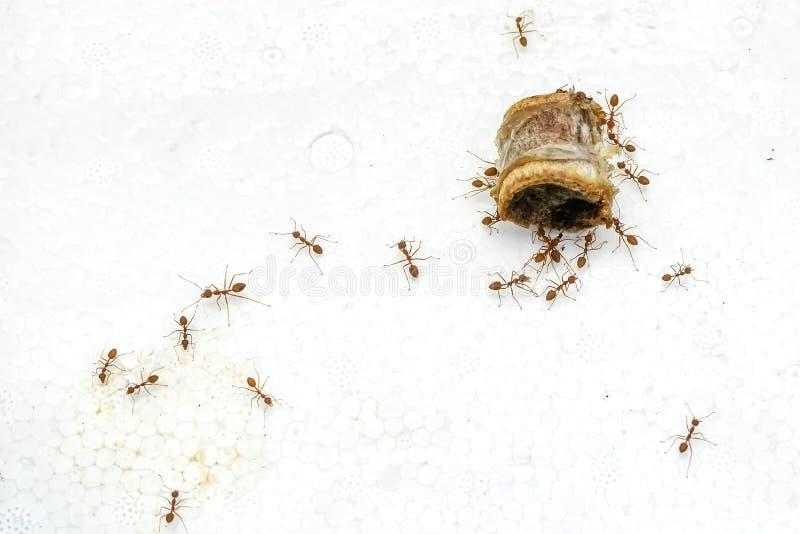 Viele Ameisen, die Schweinefleisch essen lizenzfreies stockfoto