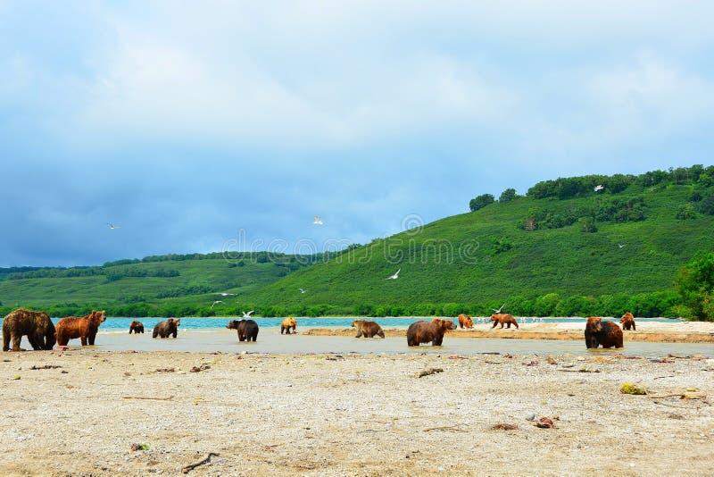 Viele Bären jagt auf wilden Lachsen auf dem Ufer stockbilder