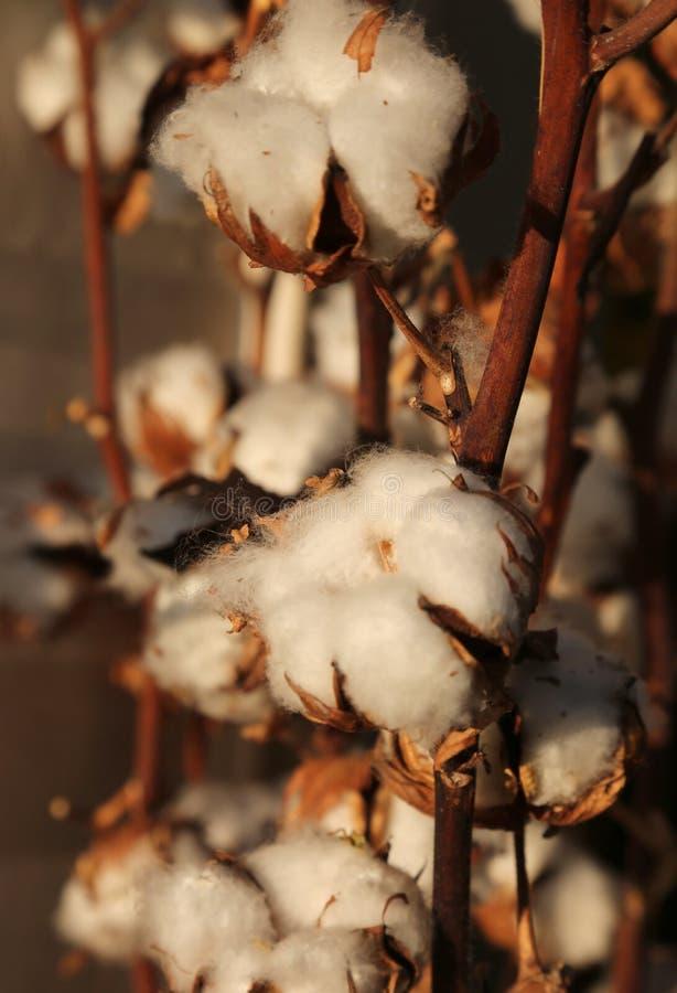 Viele Büschel der weißen Baumwolle auf der intensiven Bearbeitung von cotto lizenzfreie stockbilder