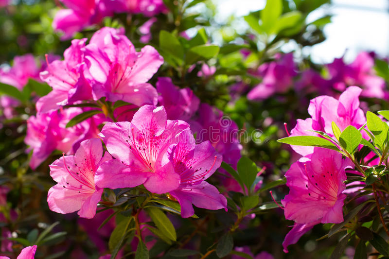 Viele blühenden rosa Azaleen im Park lizenzfreies stockbild