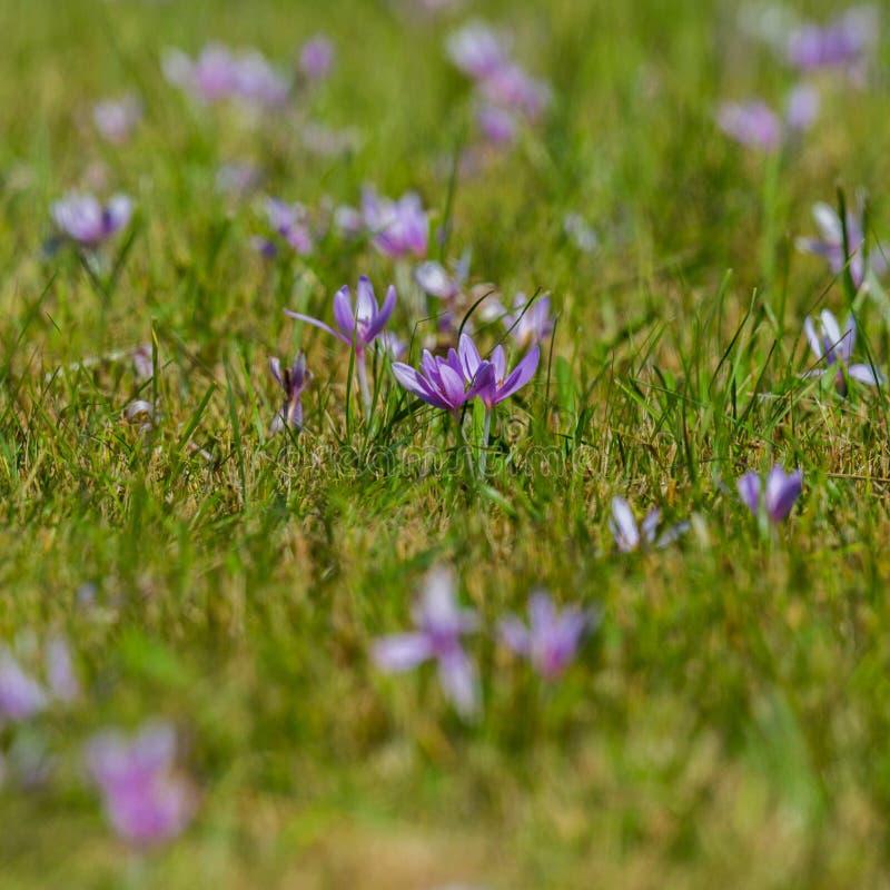 Viele blühendes violettes Herbstzeitloseblumen Colchicum autumnale, grüne Wiese stockbilder