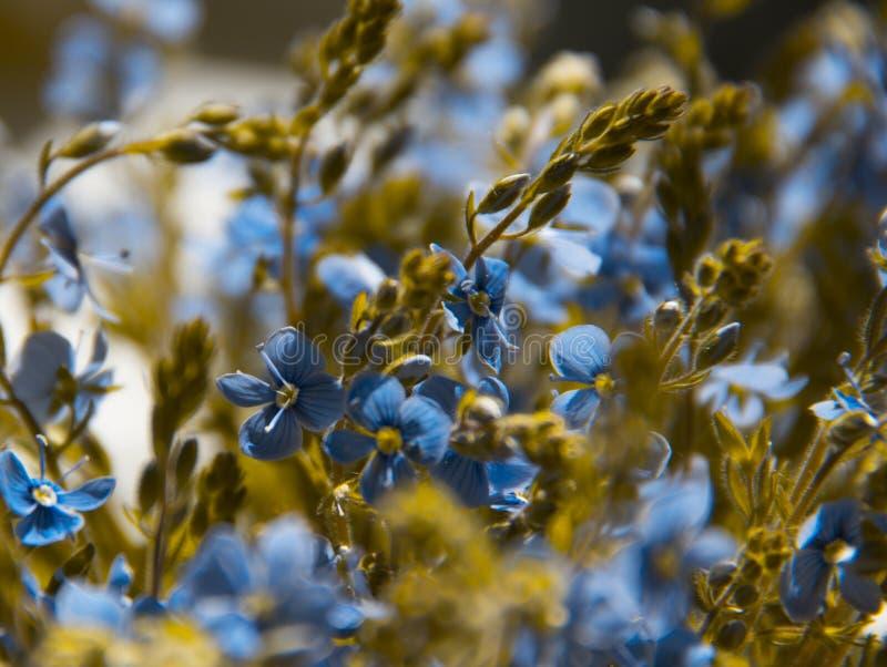 Viele Blaublumen pflanzt Pansiesvergissmeinnichtgoldfarbgrün-Blumenstraußfeld stockbild