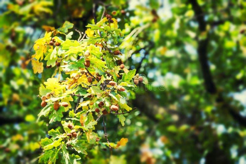 Viele Eicheln, die am Baum bevor sie fallend zu Boden hängen lizenzfreie stockbilder
