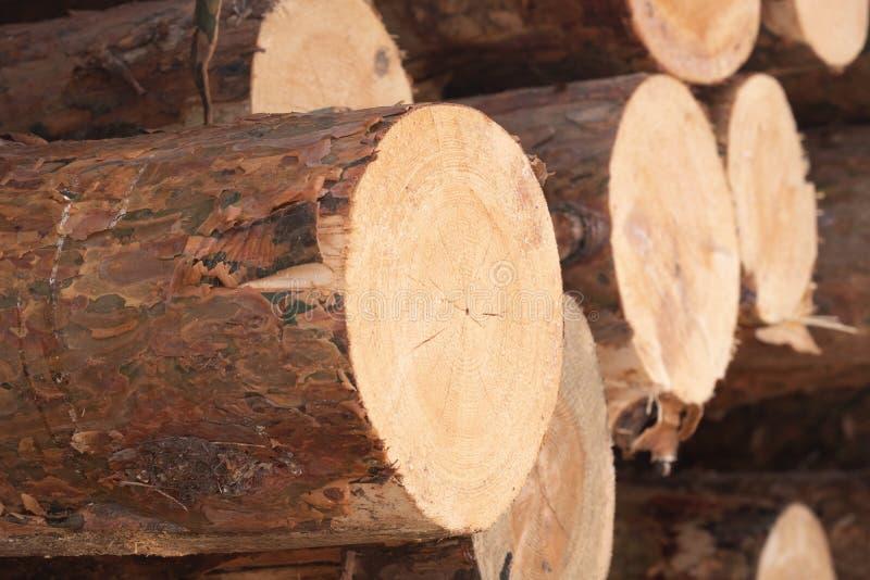 Viele Enden von gesägten Bäumen im Wald im Lager, angehäufte Kiefer stockfotografie