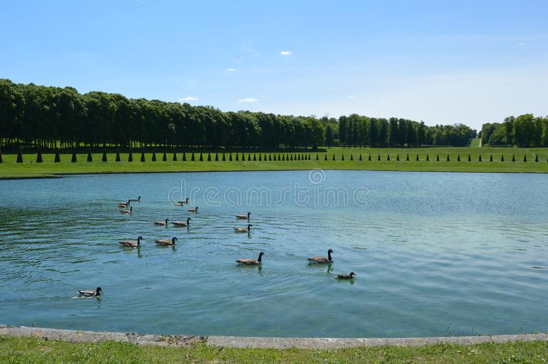 Viele Enten, die auf See im Park schwimmen lizenzfreies stockfoto