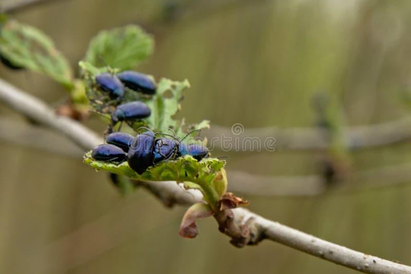 Viele Erlenblattkäfer, die jungen Frühling verschlingen, treibt - Agelastica-alni Blätter lizenzfreie stockbilder