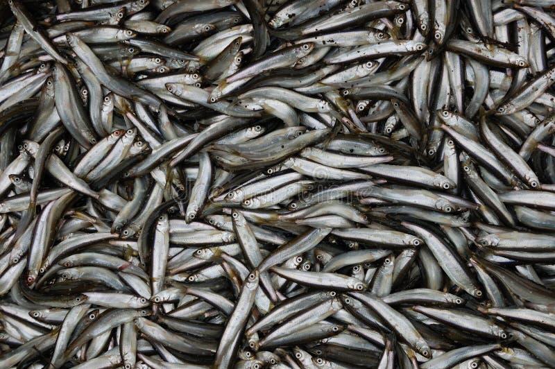 Viele Fische lizenzfreies stockbild