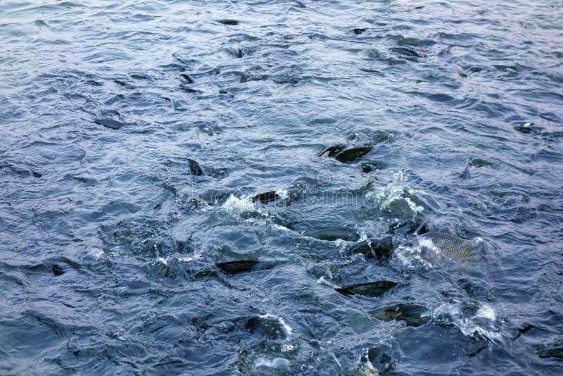 Viele Fische, die auf Oberfläche des Wassers essen stockfoto