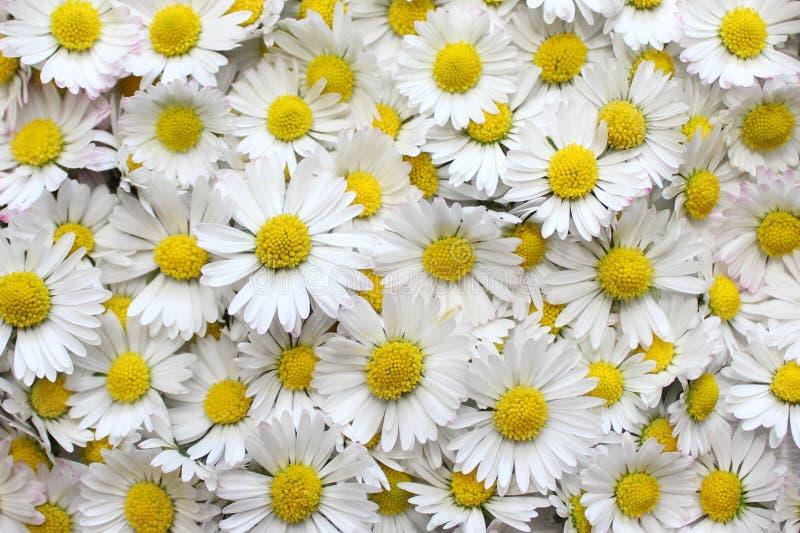 Viele Gänseblümchenblumen stockfotos